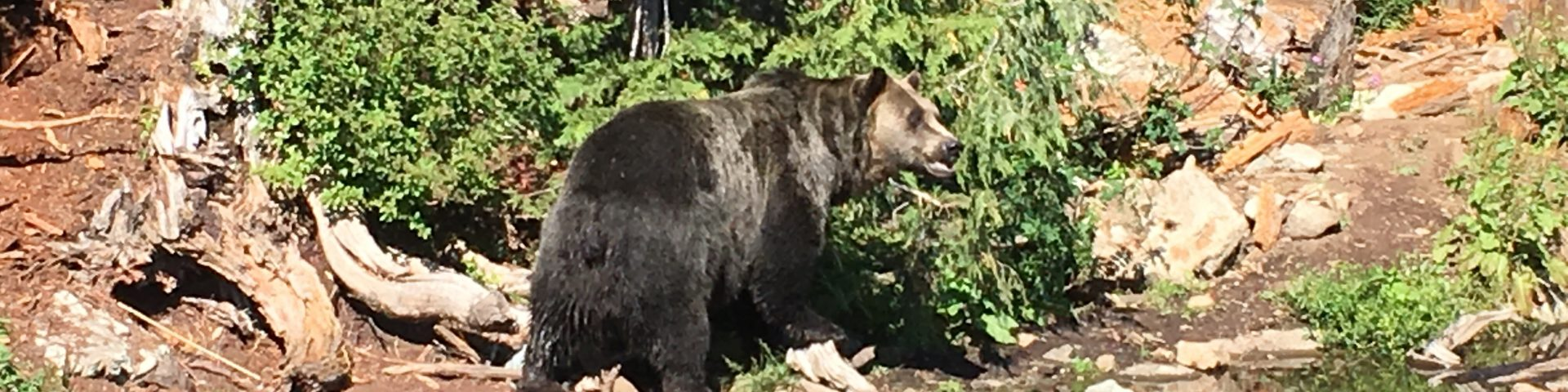 Bears on Grouse Mountain, Vancouver