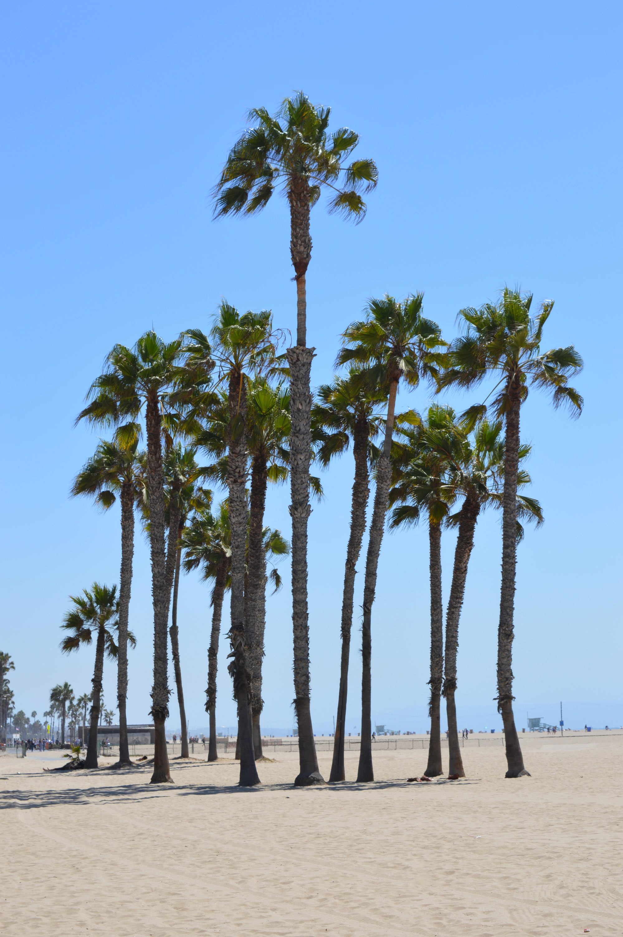Palm Trees on Santa Monica Beach