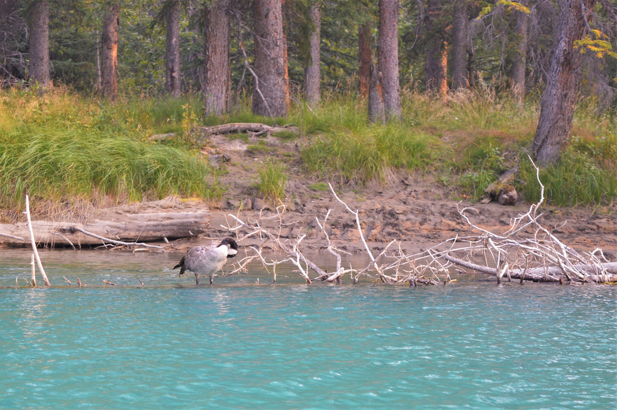 Canadian goose on the Bow River