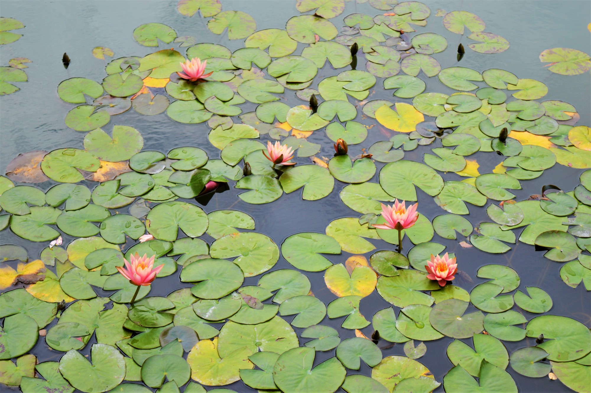 Lilies at Dr. Sun Yat-Sen Classical Chinese Garden Vancouver