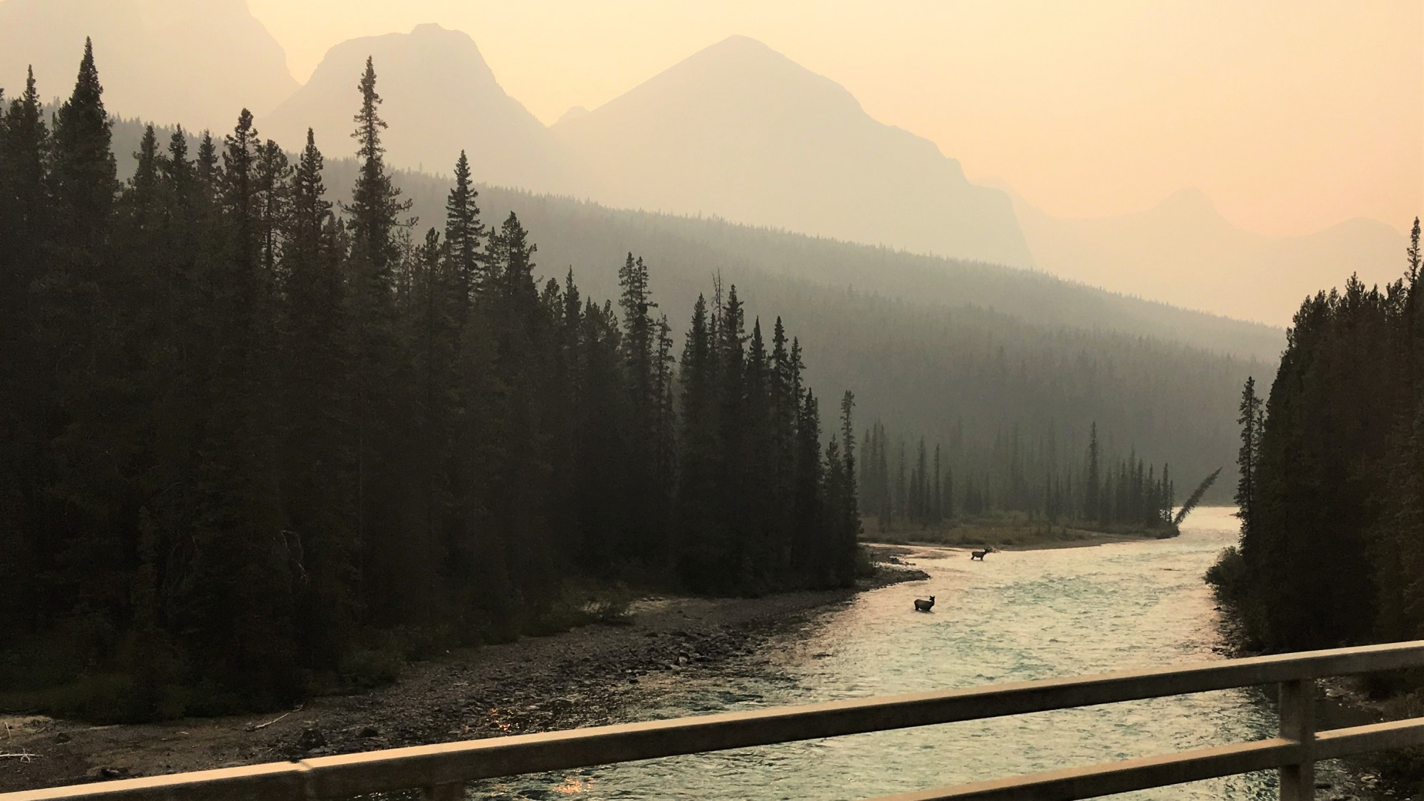 Moose in the river at Lake Louise