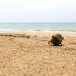 Racing Hermit Crabs At White Sand Beach, Khao Lak