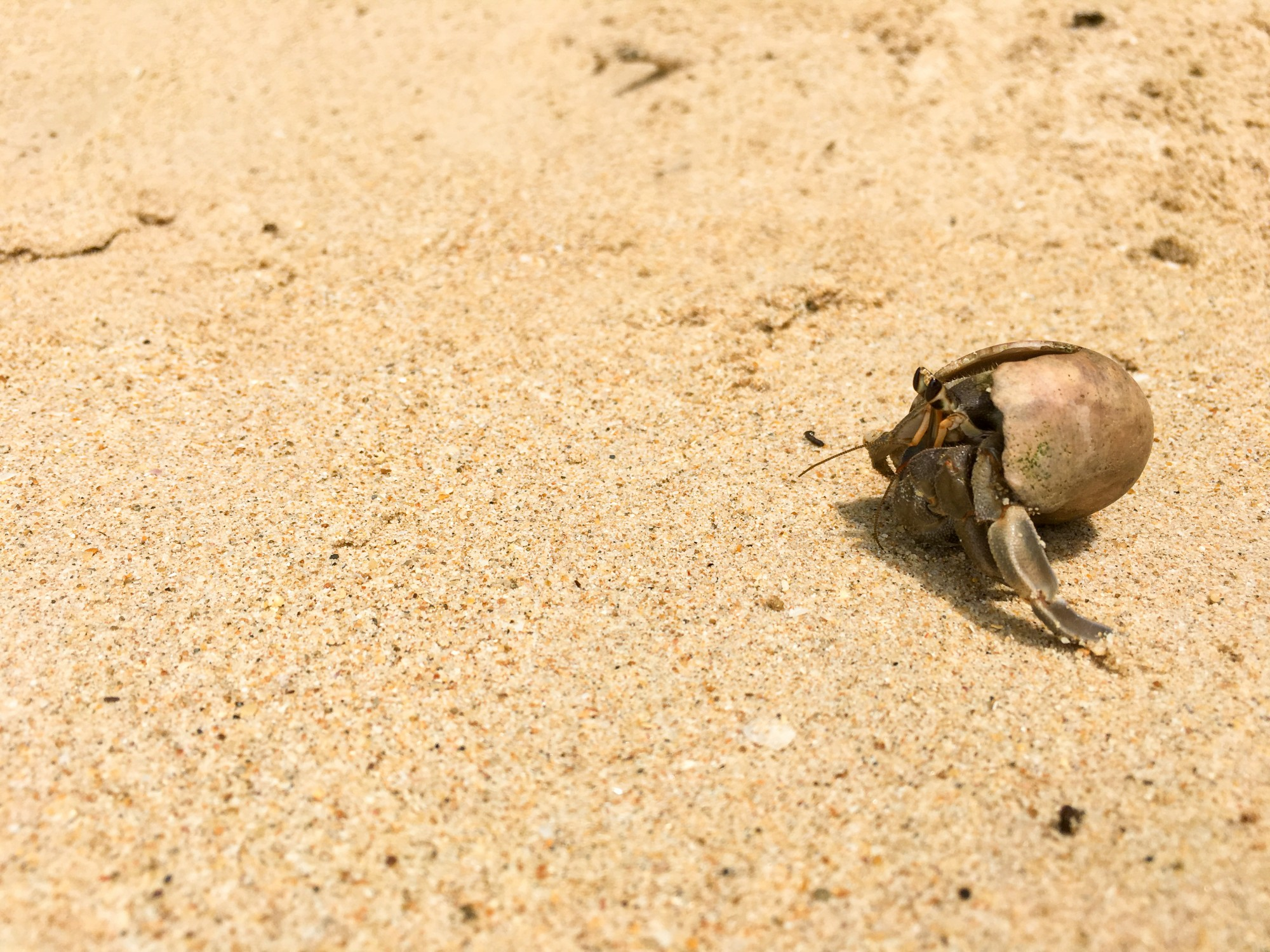 Hermit crab at White Sand Beach, Khao Lak