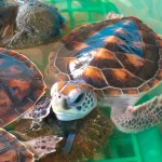 Visiting The Royal Thai Navy Sea Turtle Conservation Project In Khao Lak