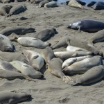 Observing The Seals At The Piedras Blancas Elephant Seal Rookery