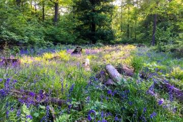 Bluebell Walk, Ashridge, Hertfordshire