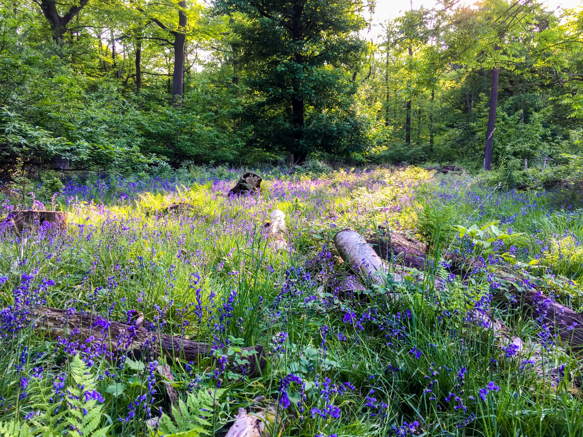 Wandering Through The Bluebell Wood In Ashridge