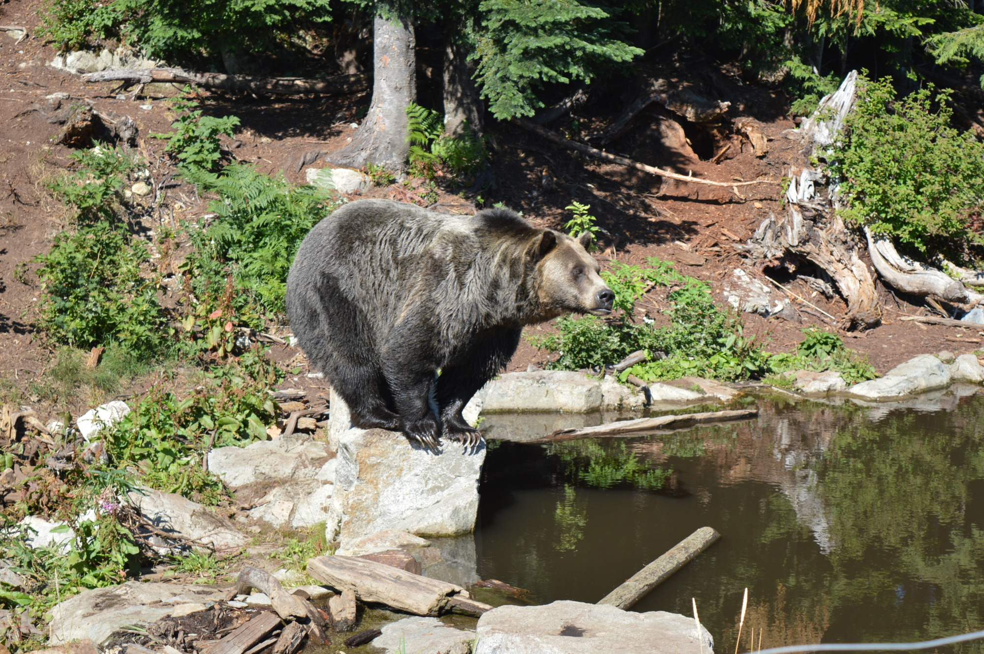 Grouse Mountain Bear Sanctuary